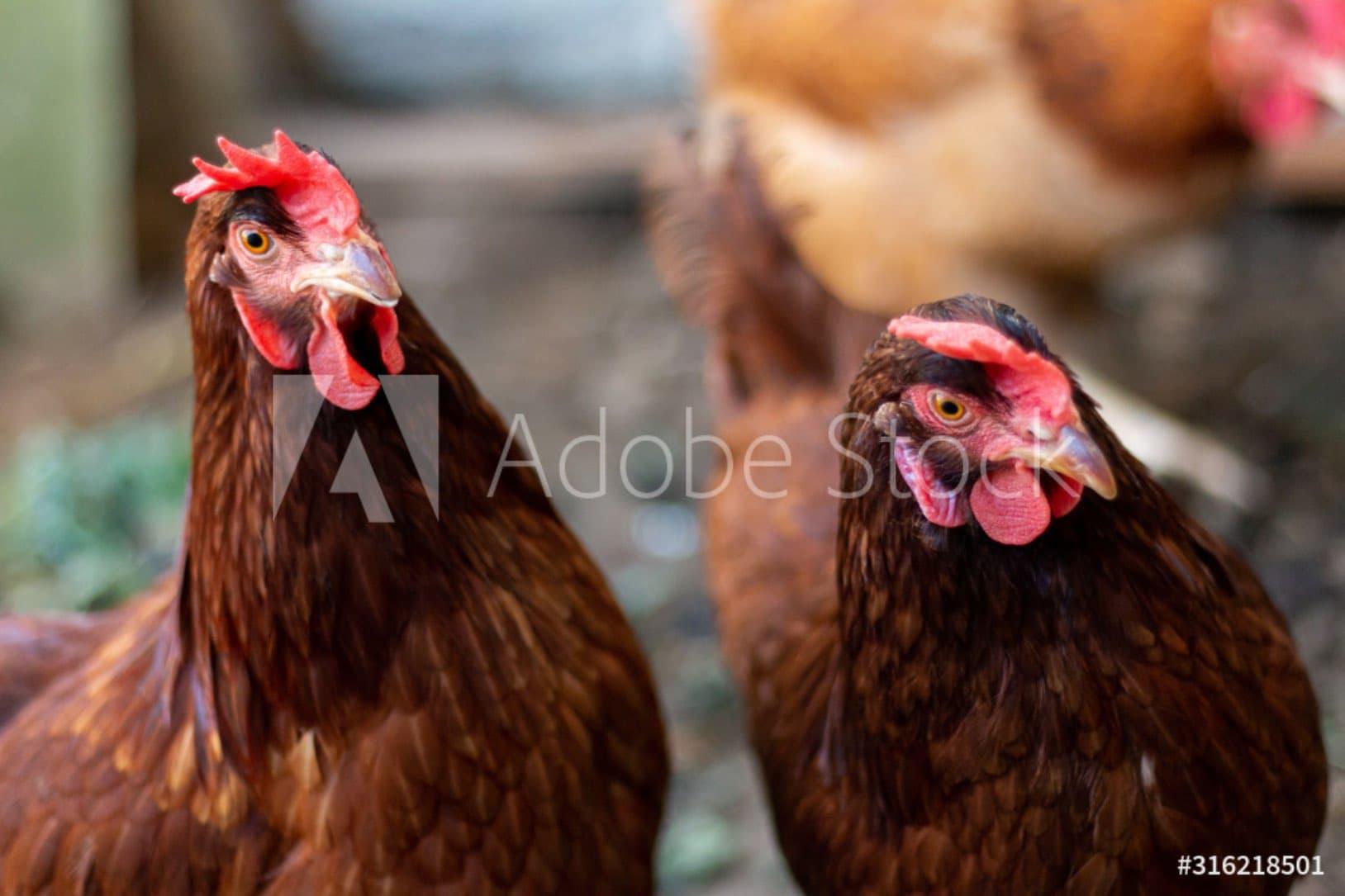 about cinelli avicoltura toscana desktop